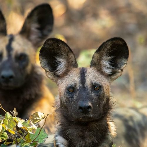 The 'painted wolves' of Zimbabwe