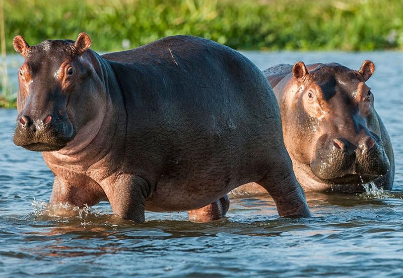 VICTORIA Falls: American tourist injured in hippo attack
