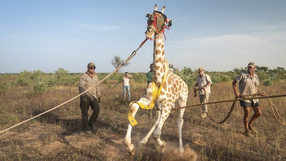 Saving the last West African giraffes in Niger
