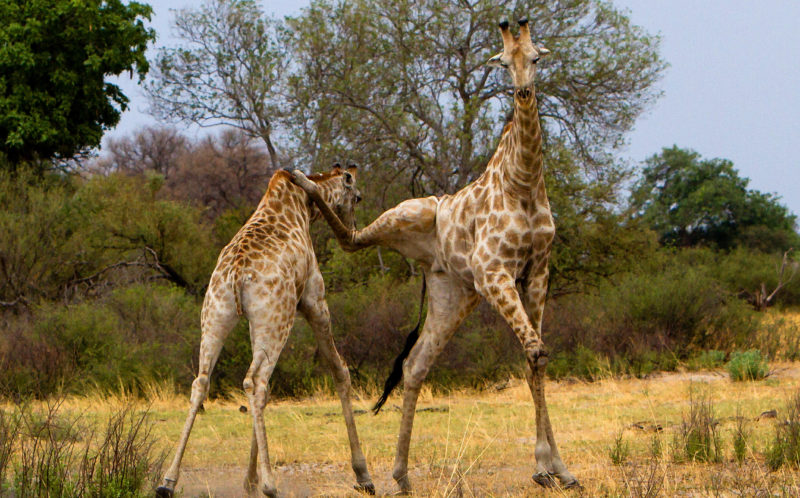 Giraffe kicks Limpopo farm worker to death at gaming lodge