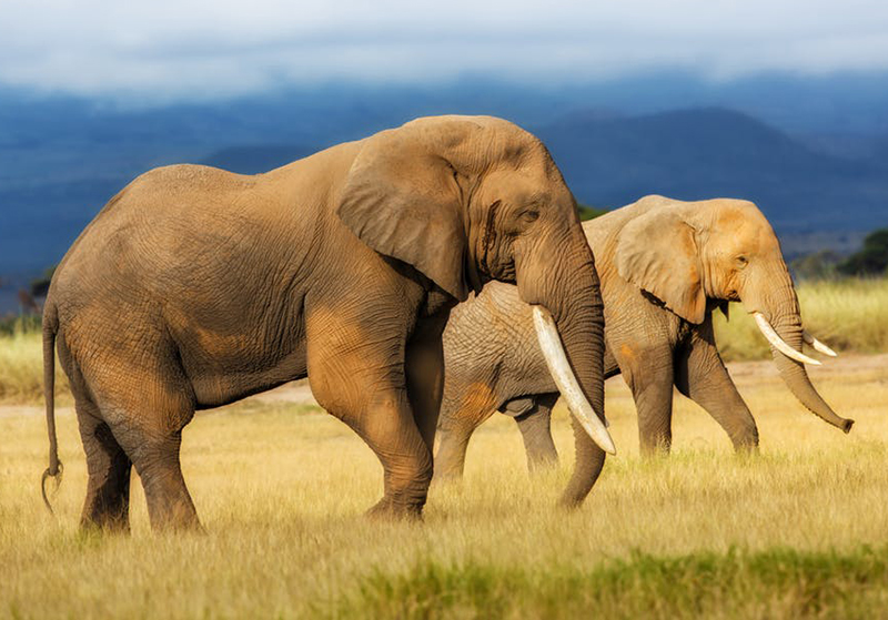 Village Head Trampled To Death By Elephants