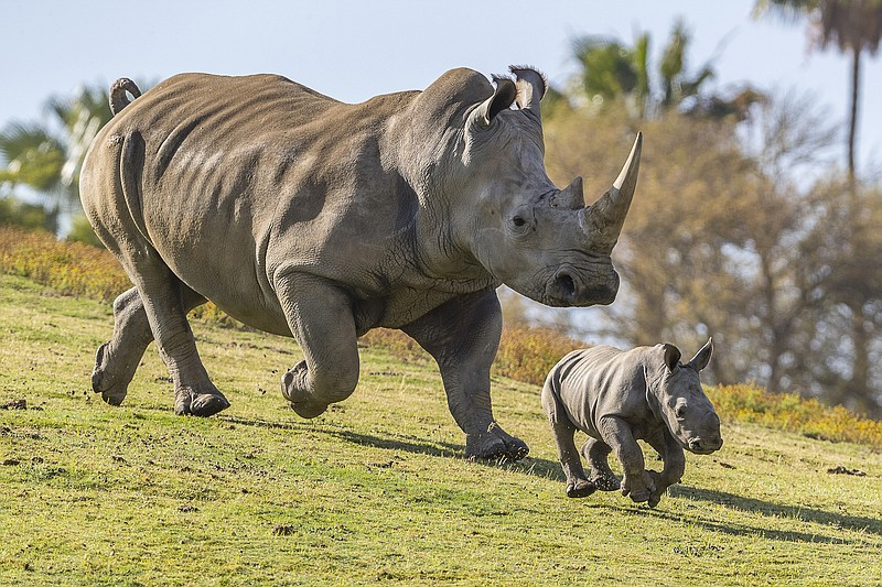 Eggs harvested from last remaining white rhinos