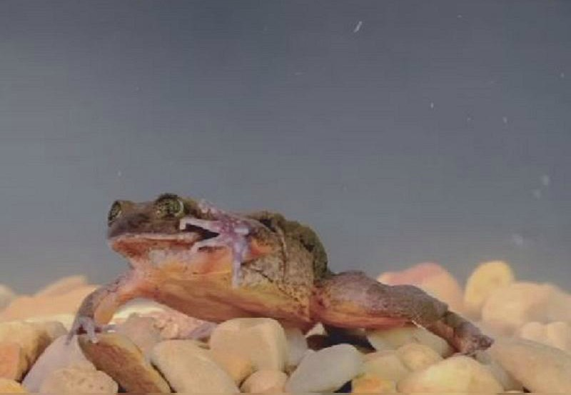Bolivia's lonely frog finally finds a wife