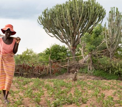 Fueled by climate change, Zimbabwe's erratic harvests cause farmers with HIV to struggle