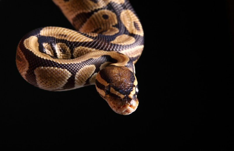 Good Samaritan rushes python to vet after car drives over it on purpose
