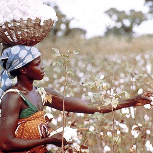 Cotton a curse for Midlands: As sexually transmitted infection rise during marketing season