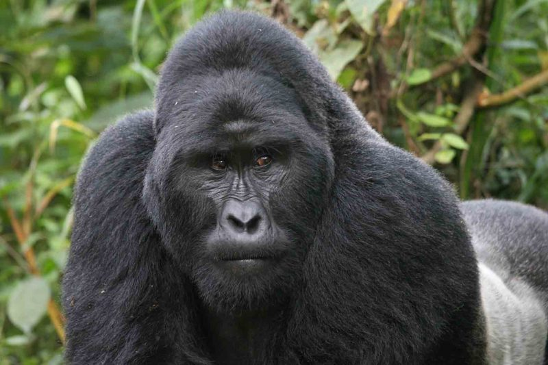 Deadly parasite 'jumped' from gorillas to humans
