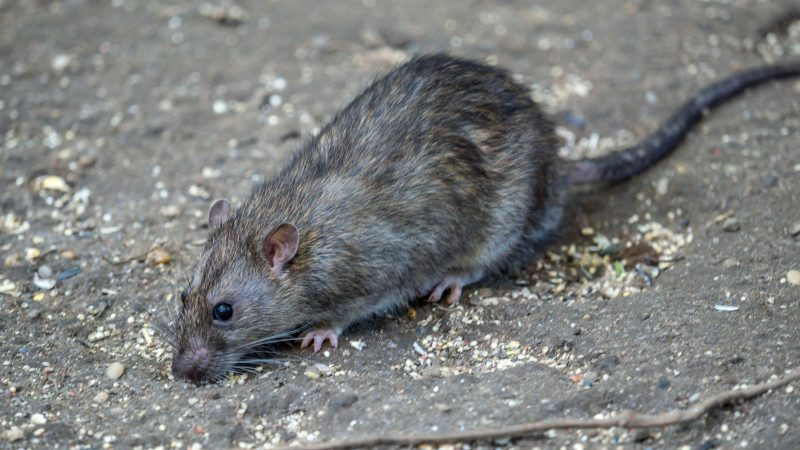 Bulawayo City Council Hit By Rodents