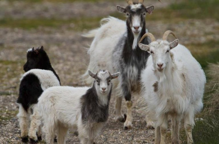 Chipinge Brothers On The Run For Killing Villager Over 4 Stolen Goats