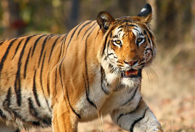Tiger at Zoo tests positive for Covid-19