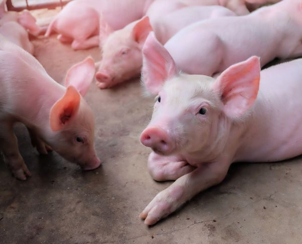 Byo Pig Growers To Built Abattoir To Beat High Slaughter Prices