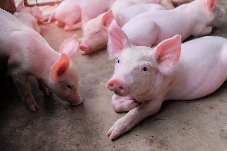 245 Top Quality Pig Breeds Imported From SA To Improve Pig Production