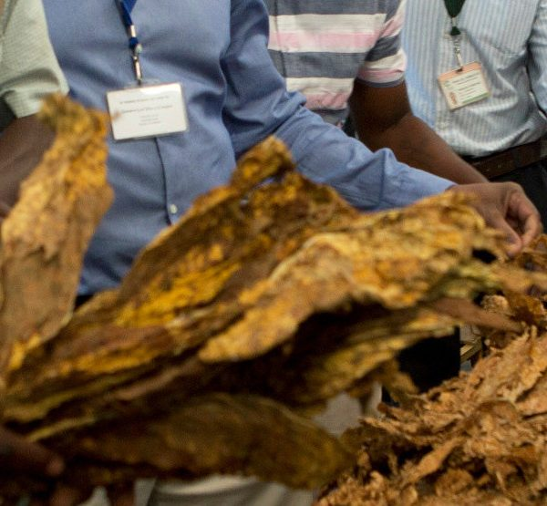 TSL expects much lower than anticipated tobacco output