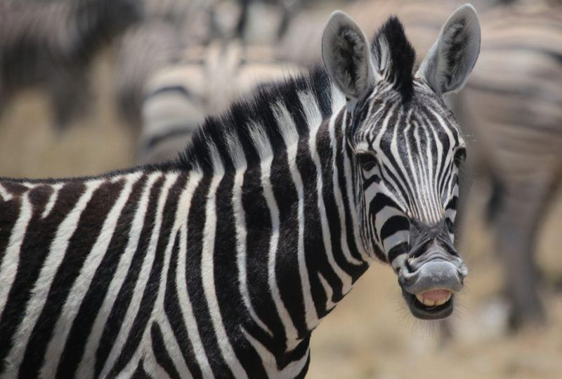 Bulawayo Man Arrested After Being Caught With Zebra Skin