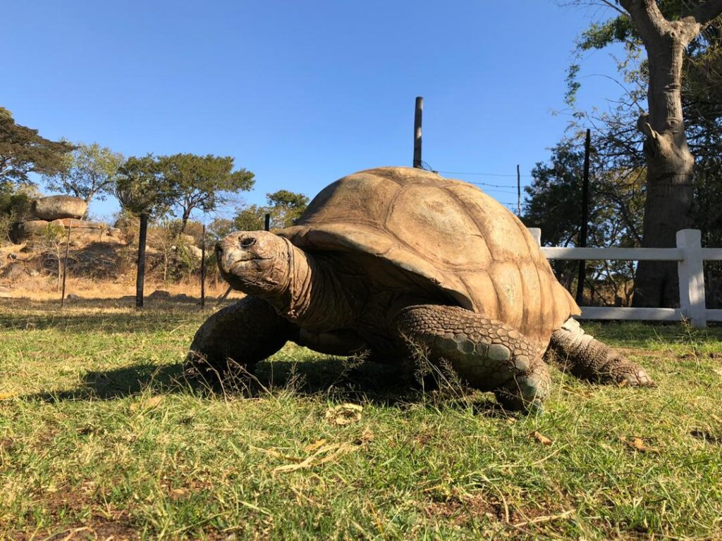 Something to shell-ebrate: Giant tortoise could be 250 years old