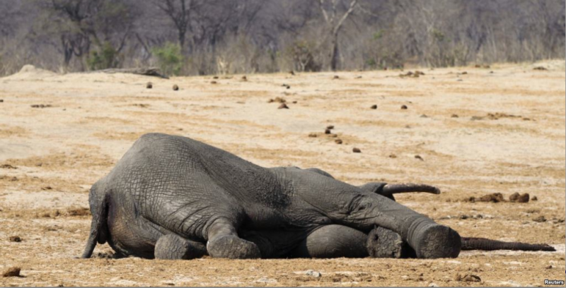 11 Elephants Found Dead In A Vic Falls/Hwange Protected Forest