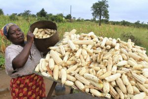 Zimbabwe Had ABumper Harvest: What Went Right, What NeedsWork