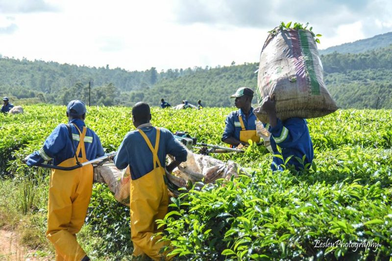 Increased Tea Production In East Africa Affects Zimbabwe's Prices – Meikles