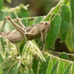 Locusts Outbreak A Threat To Zim's 2020/2021 Farming Season - FAO