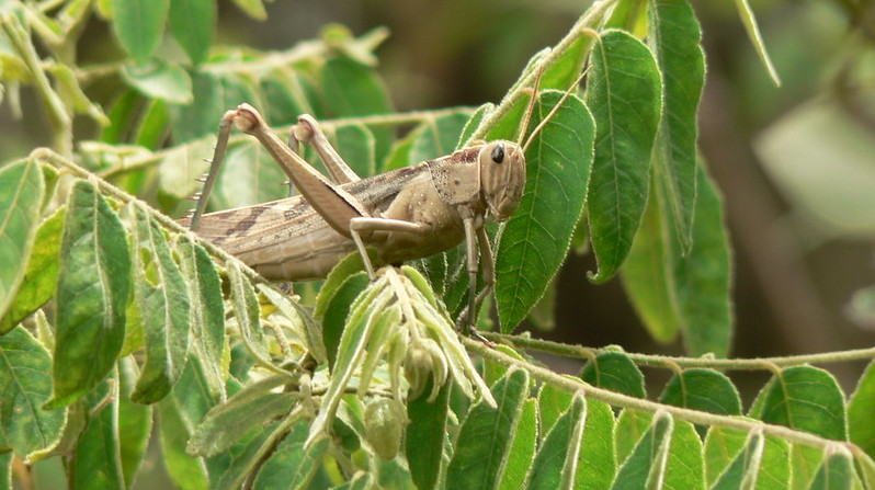 Locusts Outbreak A Threat To Zim's 2020/2021 Farming Season – FAO