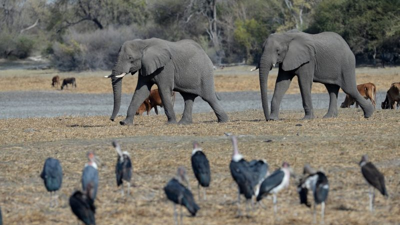 Water Toxins, Bacteria Kill Hundreds Of Elephants In Botswana, Zimbabwe
