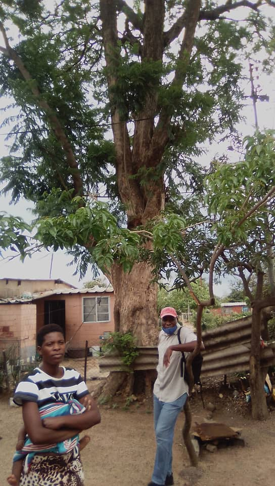 Electricity conducting tree torments residents