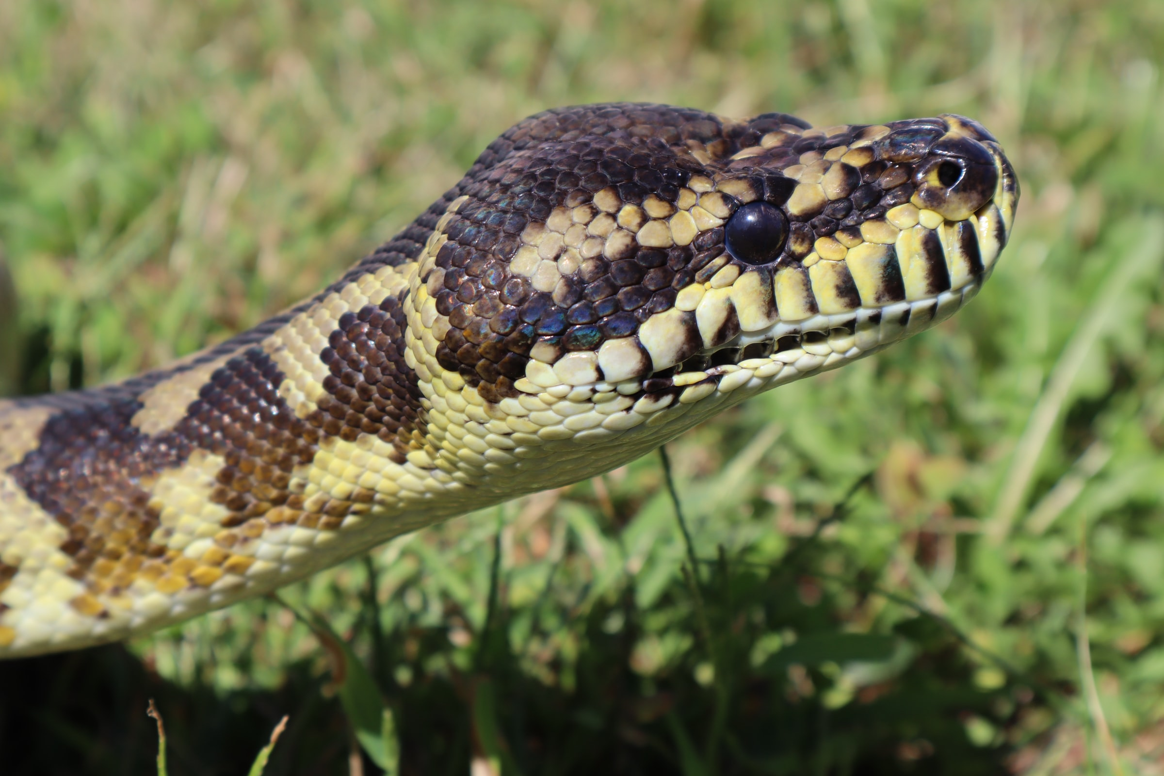 Pythons To Become New Menu Item In Florida