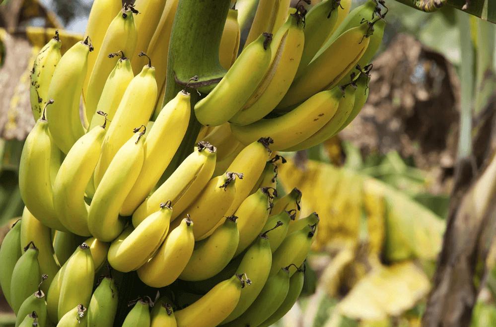 Ariston Holdings Banana Production Up 65 % Due To Good Rains