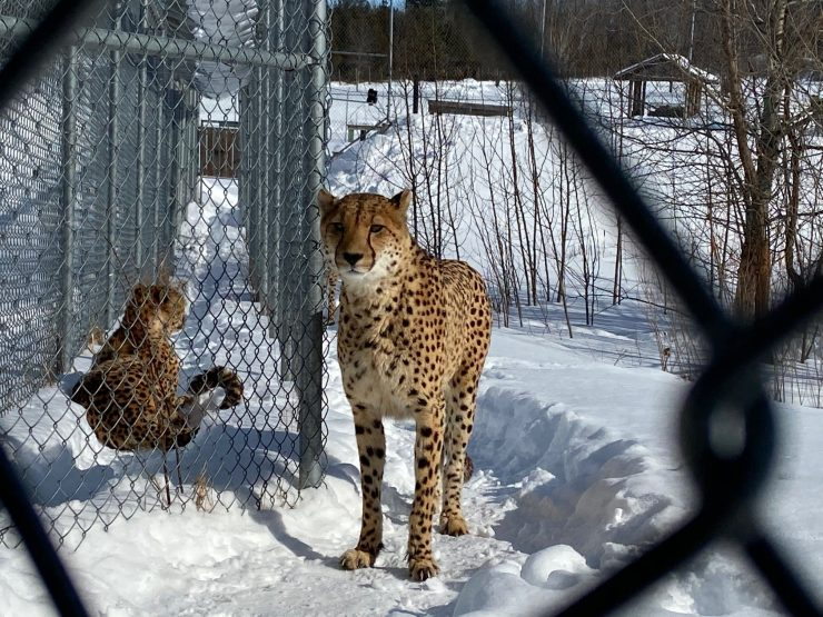 Quebec-Born Cheetahs Soak Up Sun Ahead Of Release Into Zim Wilderness