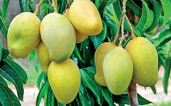 Mango Growers Look To The Sun To Boost Incomes