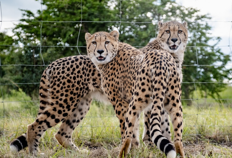 Cheetah Brothers Cheat Cold To Add Heat To Their Species In Zim