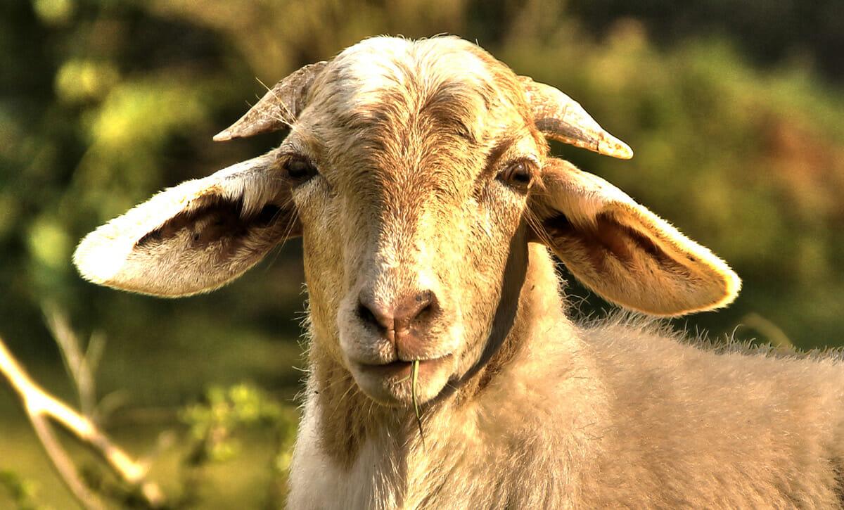 Animal 'Husbandry' Gone Wrong As Herd Boy (19) 'Rapes' Goat