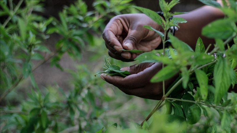 UZ Readies Zumbani Ointment, Capsules, Tea For Commercial Sales