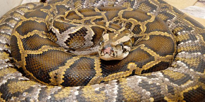 Kwekwe Python Man Arrested