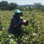 Zimbabwe's Cotton Farmers Sweat Blood For No Gain