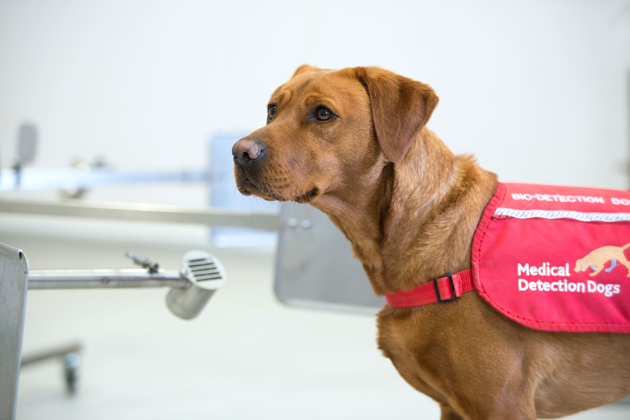Sniffer Dogs Are 94% Accurate At Detecting Covid