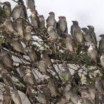 Quelea Birds Wreak Havoc In Mat North