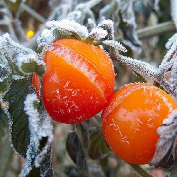 Severe Frost Destroys Horticulture Crops In Byo