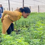 Cannabis-Growing Gathers Momentum in Zimbabwe