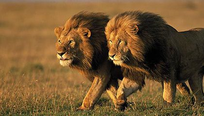 Vic Falls Man Survives Lion Attack