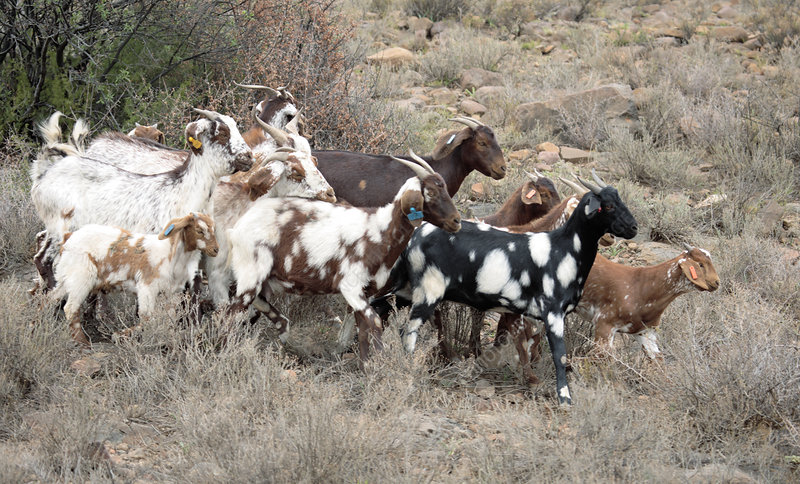 WFP Promoting Goat, Chicken Production In Vulnerable Communities