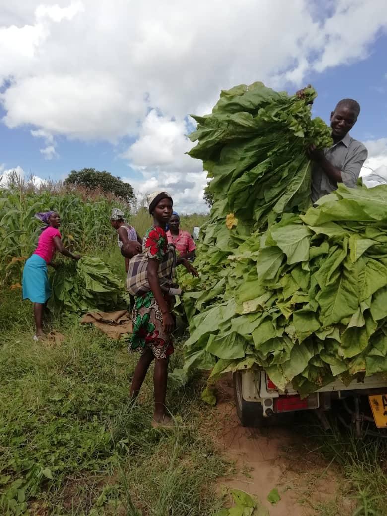 Tobacco Farmers Drowning In Debt
