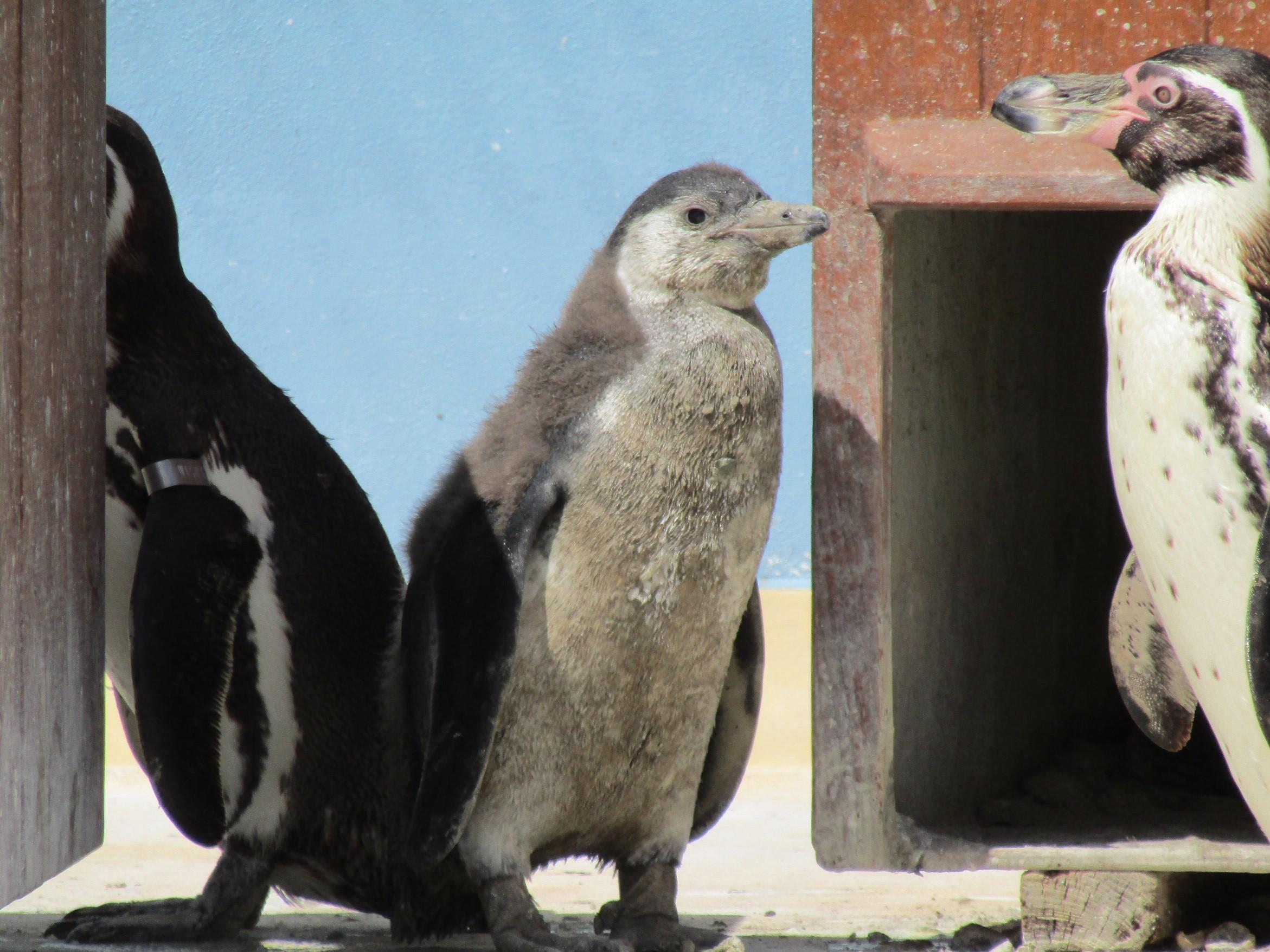 Paultons Park welcomes three new penguin chicks
