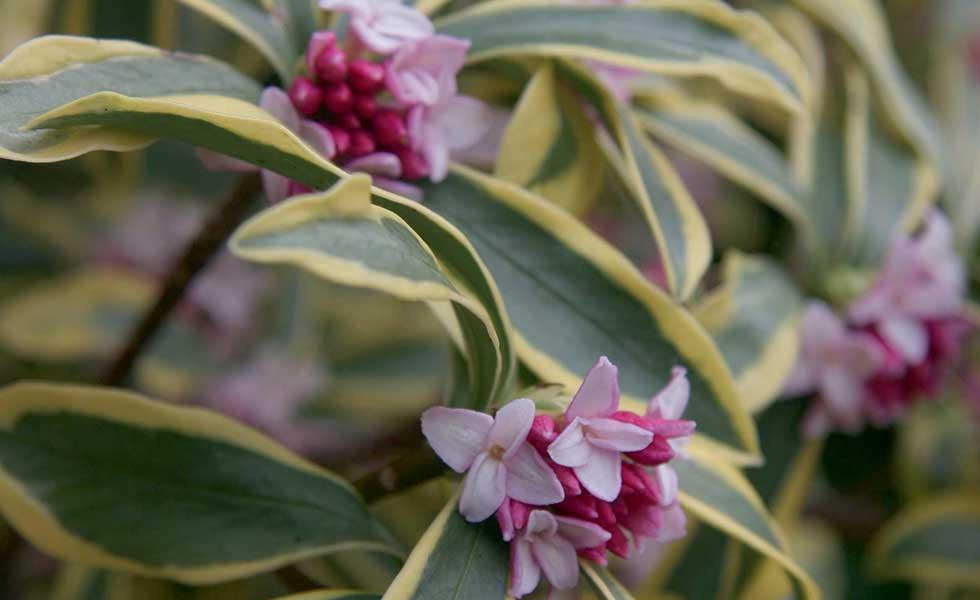 daphe odora Rebecca plant with purple flowers