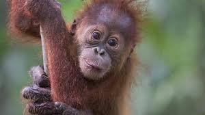 Design to Protect Critically Endangered Orangutans Hero Image
