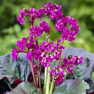 plant, shade, bergenia, book, flowers, outdoor, garden, gardening, long acre plants