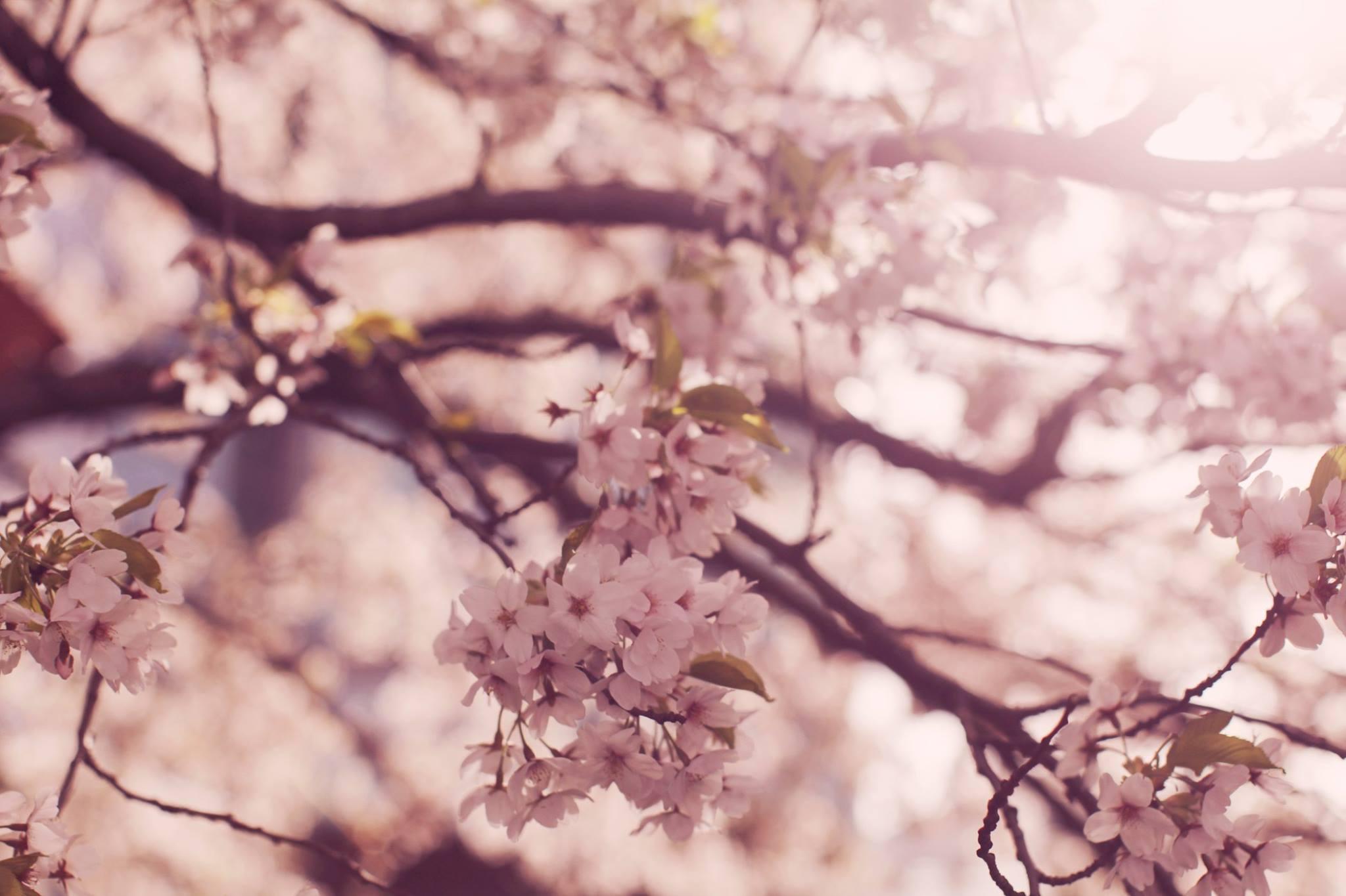 Beautiful pink cherry blossom sakura trees in spring in Sheffield, England.