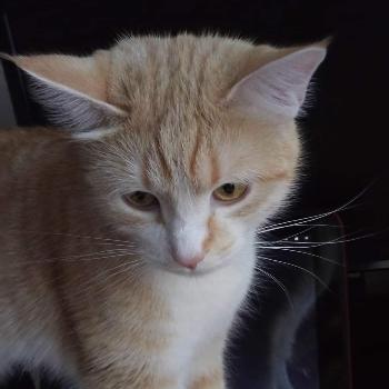 Photo of a Shiba Inu