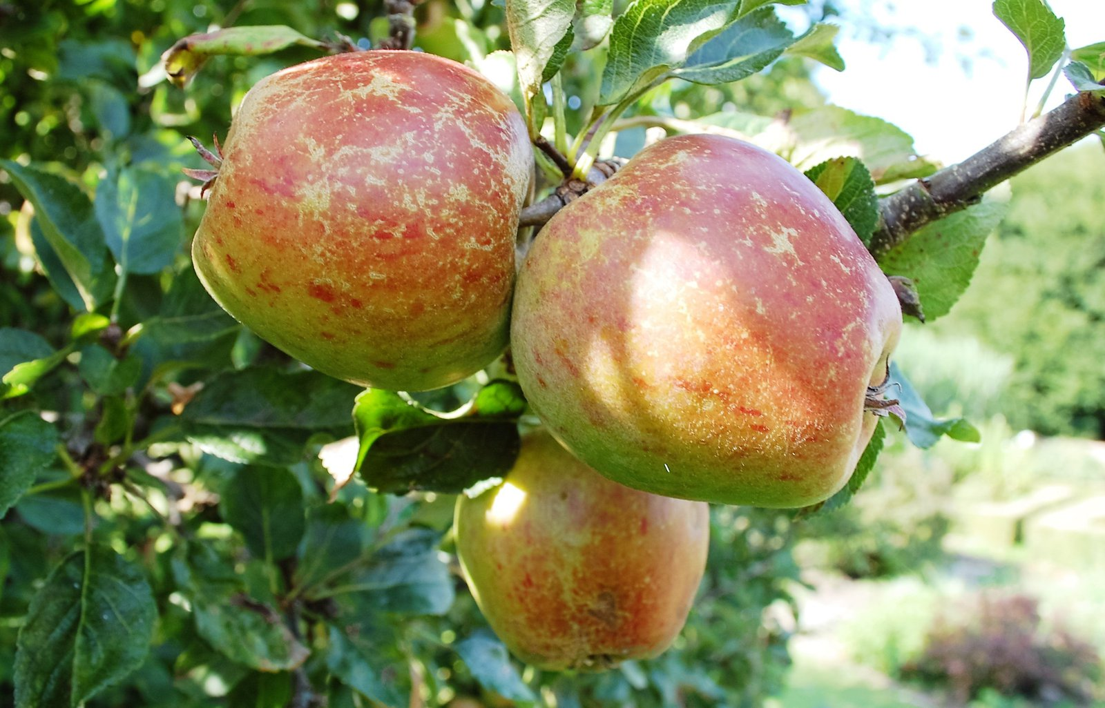 Apple ripening in our garden