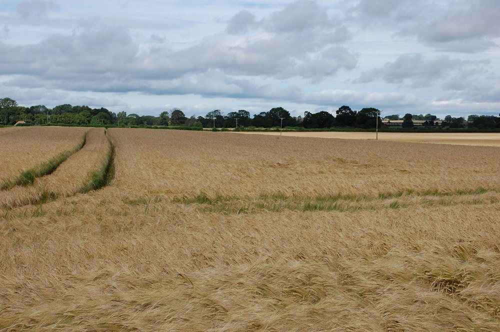 Barley Field In North Yorkshire